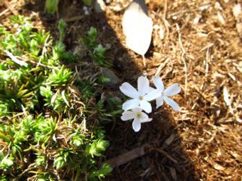 芝桜 開花