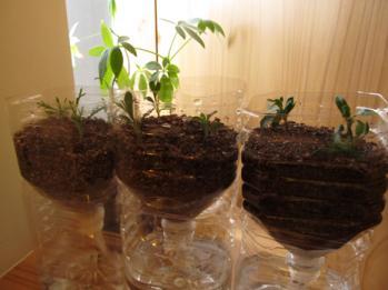 ペットボトル栽培 挿し芽