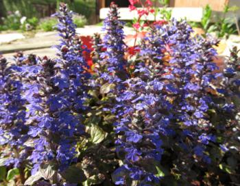 アジュガ 開花