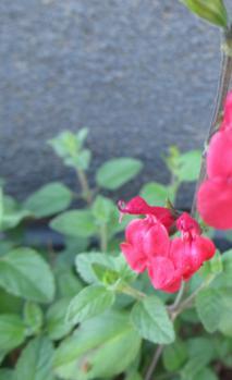ホットリップス 開花