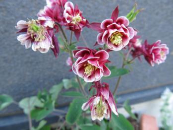 オダマキ 開花