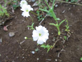 白花かすみそう 開花