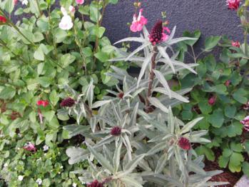 リシマキア ボジョレー 開花?