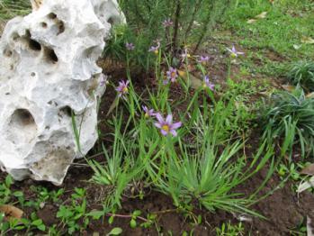 庭石菖 植え替え