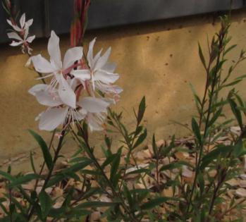 ガウラ 咲き始め