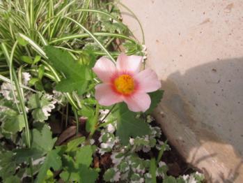 マルバストラム 開花