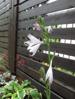 ホスタ 開花