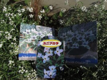 ハナニラ(ユニフロラ)と原種チューリップ アルバ コエルレア オクラータ