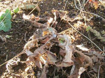 エキノプス'ブルーグロー' 枯葉