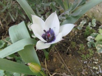 原種系チューリップ アルバ コエルレア オクラータ開花