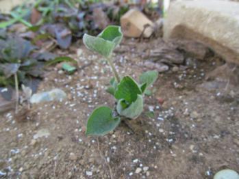 ブルンネラ 発芽