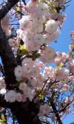 桜0414