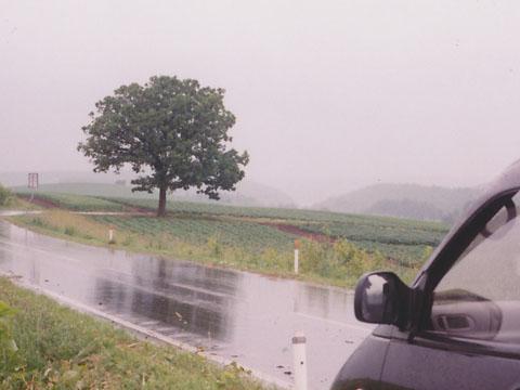 1995年のセブンスターの木