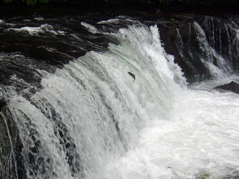 鱒の滝登り