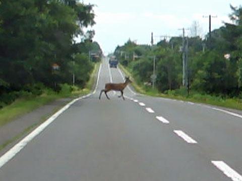 鹿が道路横断