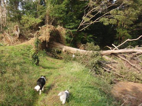 大木が倒れてる!