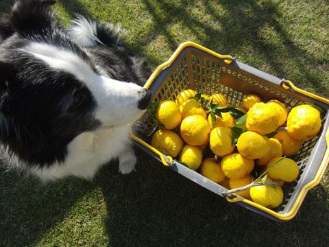 柚子が採れた