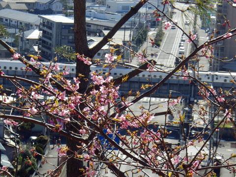 河津桜が咲いてきた