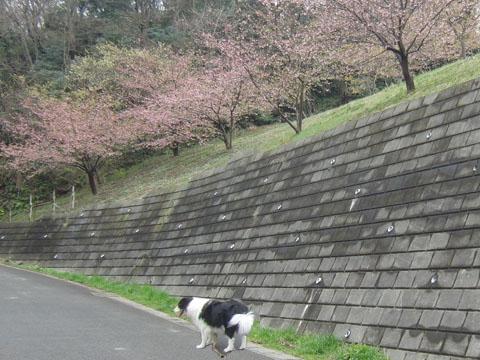 河津桜も葉桜に