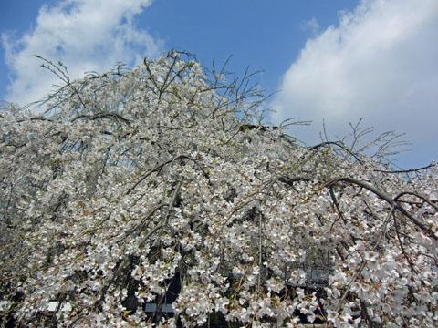 枝垂れ桜 満開