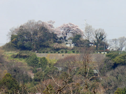 山の上の桜も満開