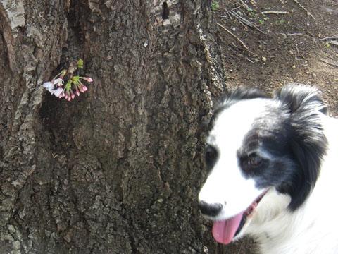 幹の所に桜が