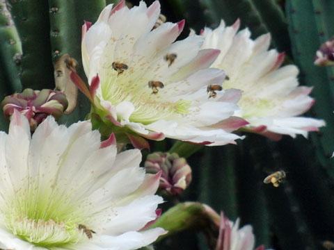 ミツバチが蜜を吸いに
