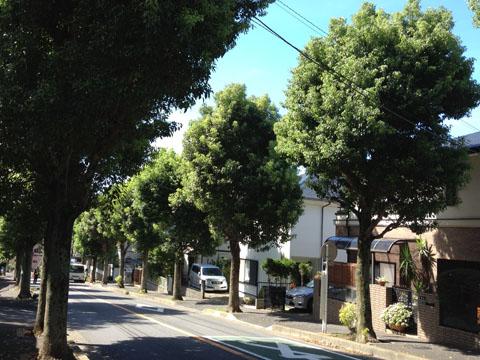 クスノキの街路樹