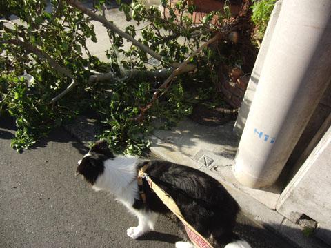 イチジクの木が倒れてる