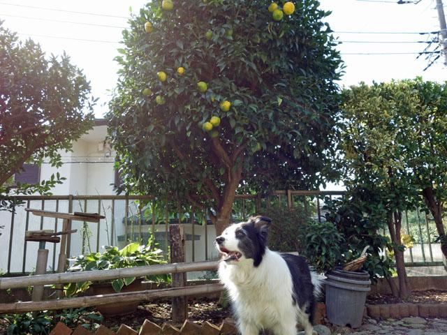 色付く柚子