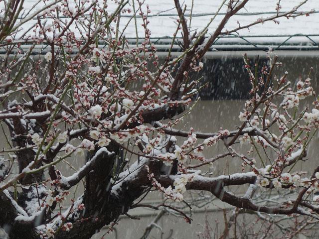 梅が咲いたよう