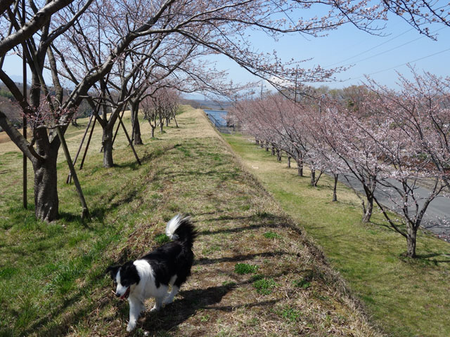 桜は2分咲きかな?