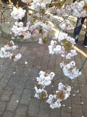 ブログ桜01