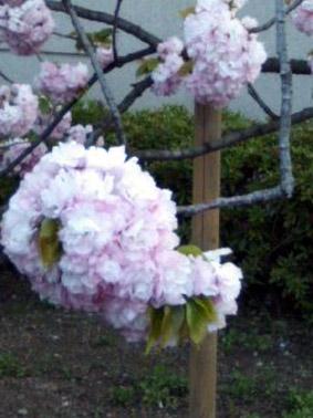 ブログ桜04