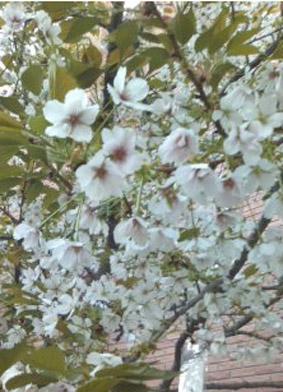 ブログ桜03