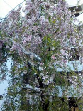 ブログ桜06