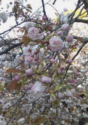 ブログ桜05