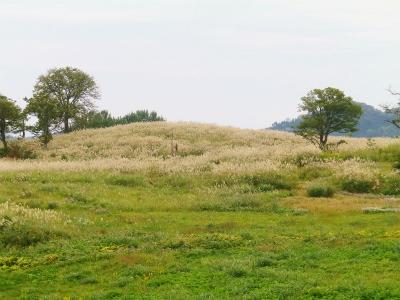 菖蒲高原のススキ原