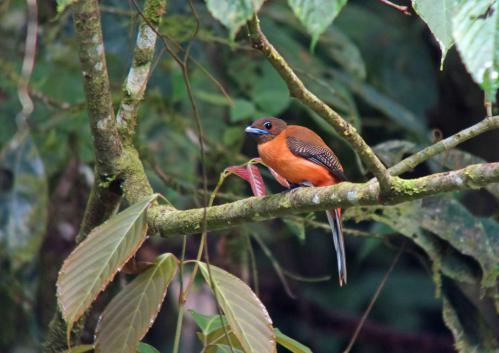コシアカキヌバネドリ 雌