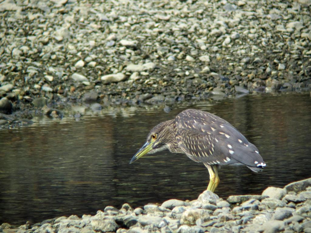 カイマナ 野鳥の写真 ササゴイ ... : 2011 カレンダー : カレンダー