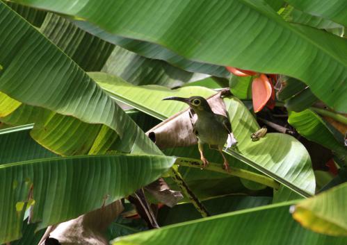 オオキミミクモカリドリ