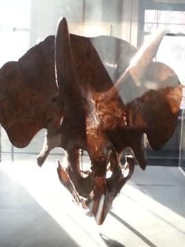 ハーバード 博物館 トリケラトプス