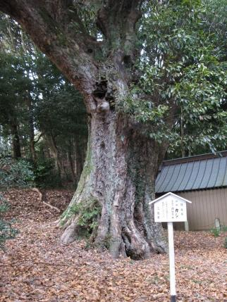 樹齢600年カシ