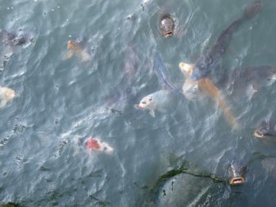 駿府城公園 鯉