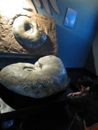 巨大アンモナイト化石