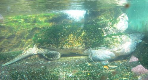鳥羽水族館 カメ