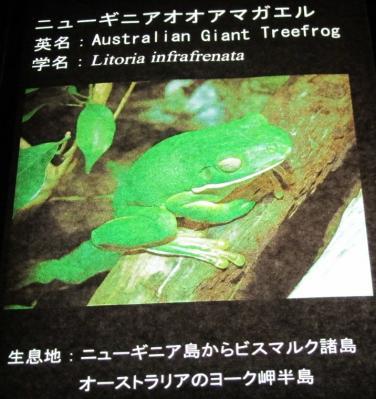 ニューギニアオオアマガエル