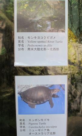 モンキヨコクビガメ スッポンモドキ