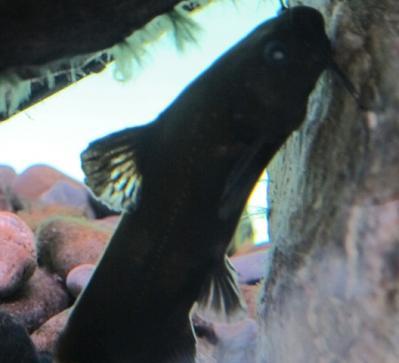 鳥羽水族館 ネコギギ