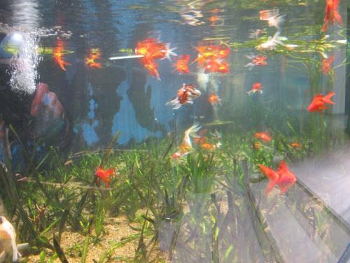 鳥羽水族館 金魚